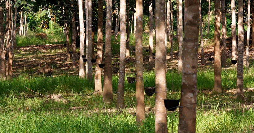 rubber-forest-madhupur-01