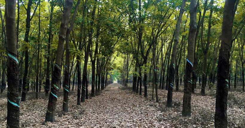 rubber-forest-madhupur